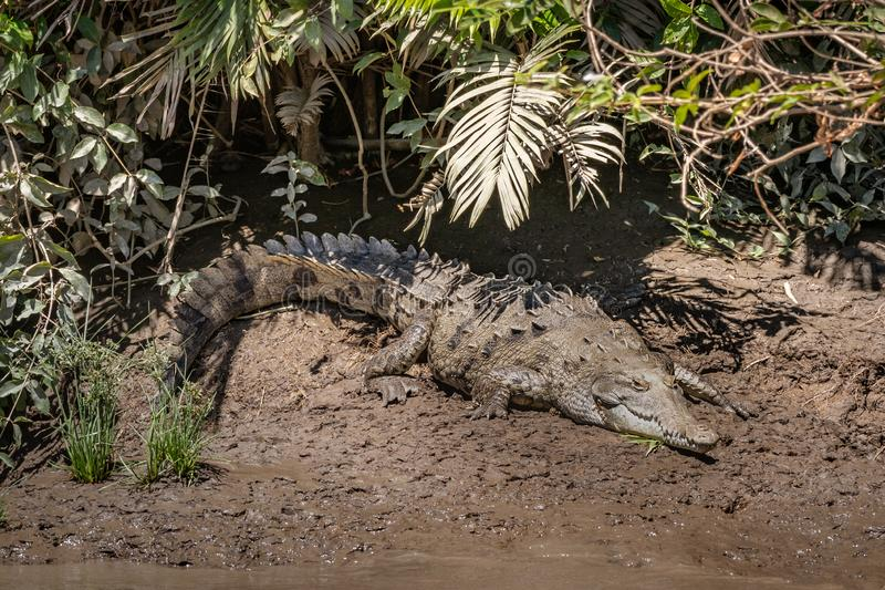 Full size crocodile on a muddy river bank. In Costa Rica stock photos