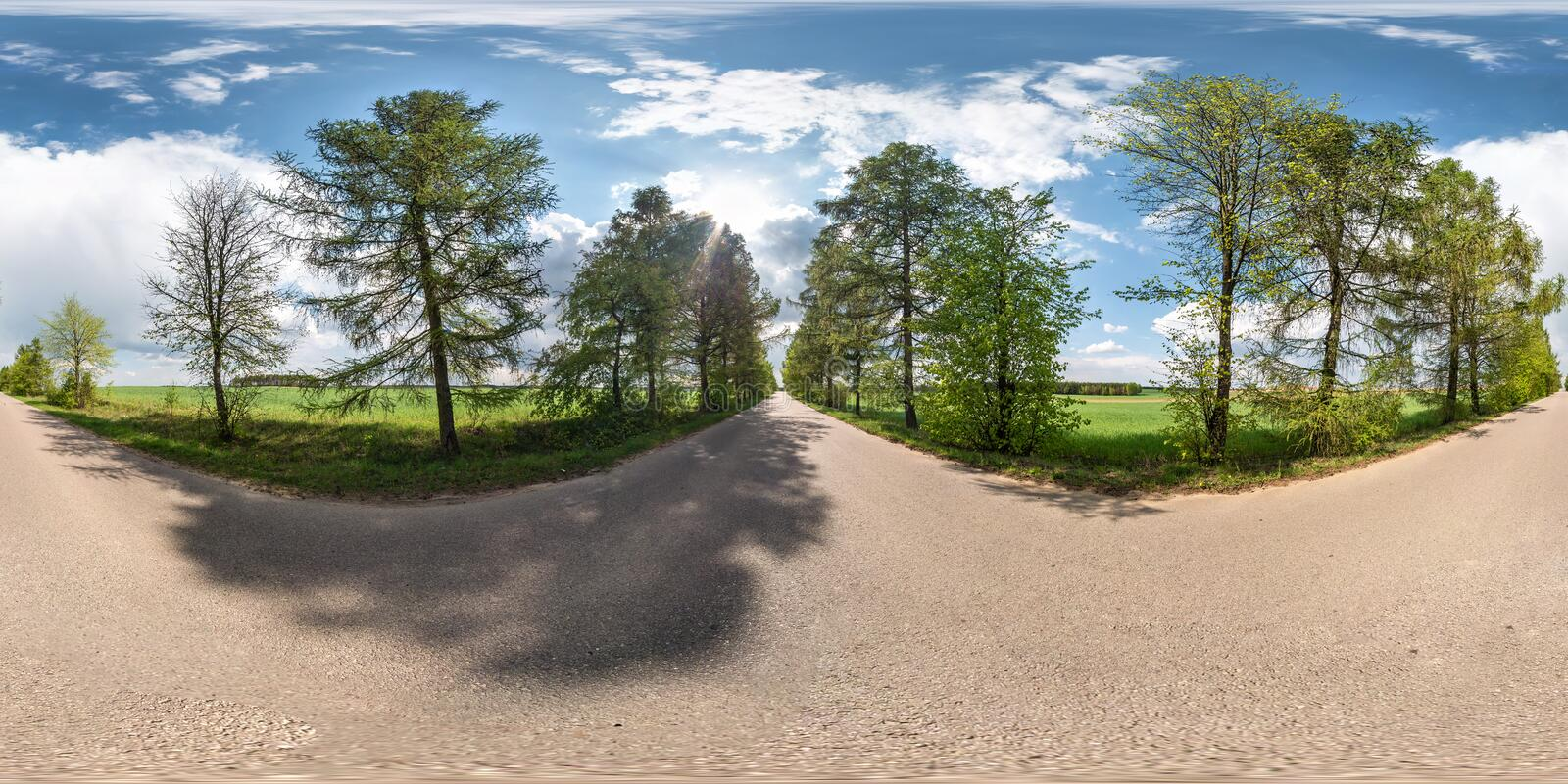 Full spherical seamless panorama 360 degrees angle view on no traffic asphalt road among alley of larch trees and fields with stock photo