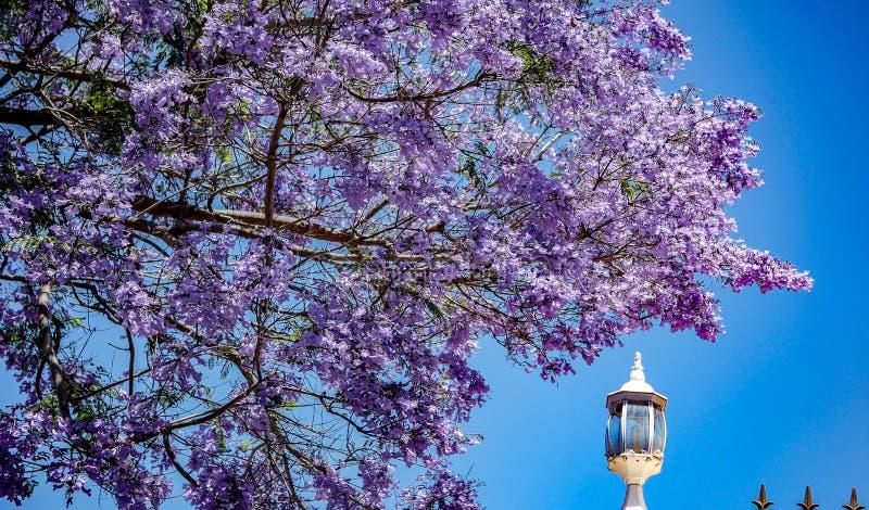 Full stam - sikt av ett storartat blomma jakarandaträd royaltyfria foton