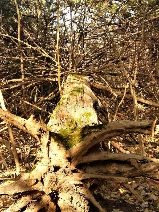Uprooted tree. A full tree completely uprooted. It was an amazing site stock photography