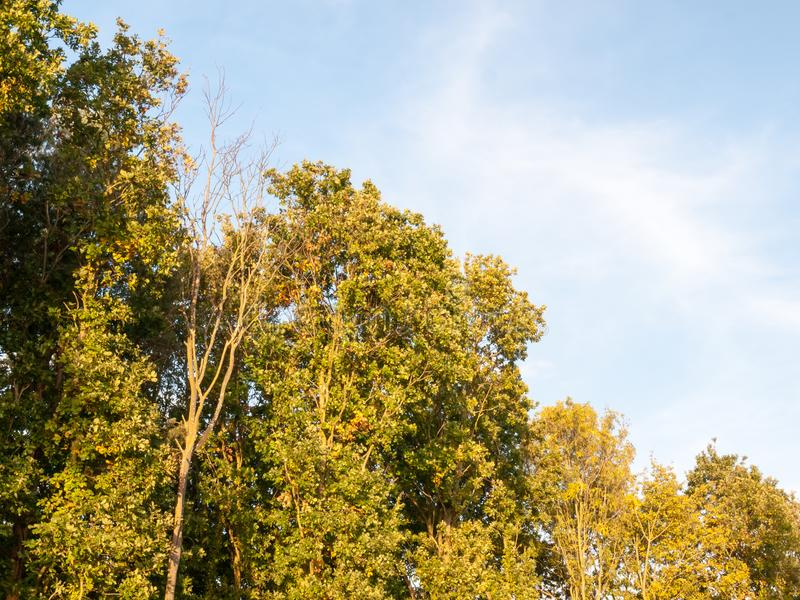 Full trees high in sky blue background nature soft light green l royalty free stock photo