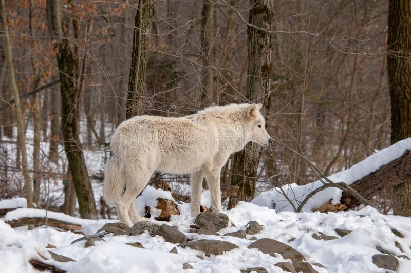 A full view of an Arctic Wolf standing in the forest stock photo