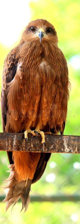 Full view of Golden Eagle. Full view of Beautiful Golden Eagle is sitting on iron rod and is looking to the camera at VOC Park in Coimbatore stock photos
