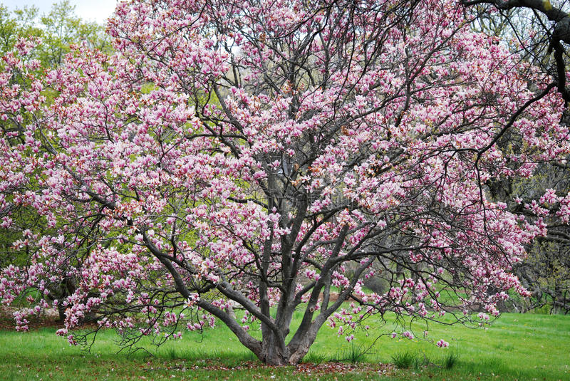 Full view of pink flowering tree at the Morton Arboretum in Lisle, Illinois. A full view of a pink flowering tree in full bloom at the Morton Arboretum, in royalty free stock image