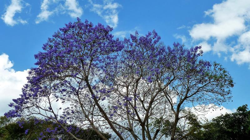 A full violet tree in Antigua Guatemala royalty free stock photography