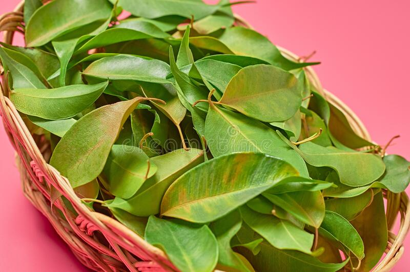Full wooden wicker basket of fresh green healing leaves collected from bush in forest on pink background. Close-up stock photography