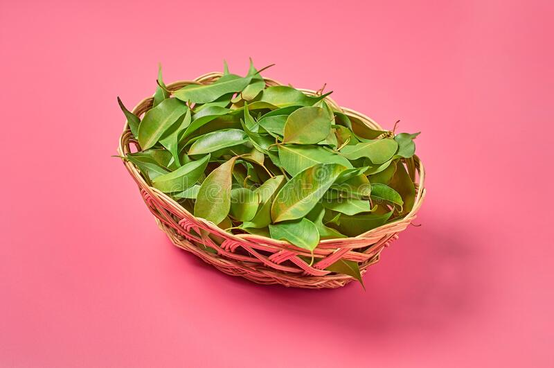 Full wooden wicker basket of fresh green healing leaves collected from bush in forest on pink background. Close-up stock image