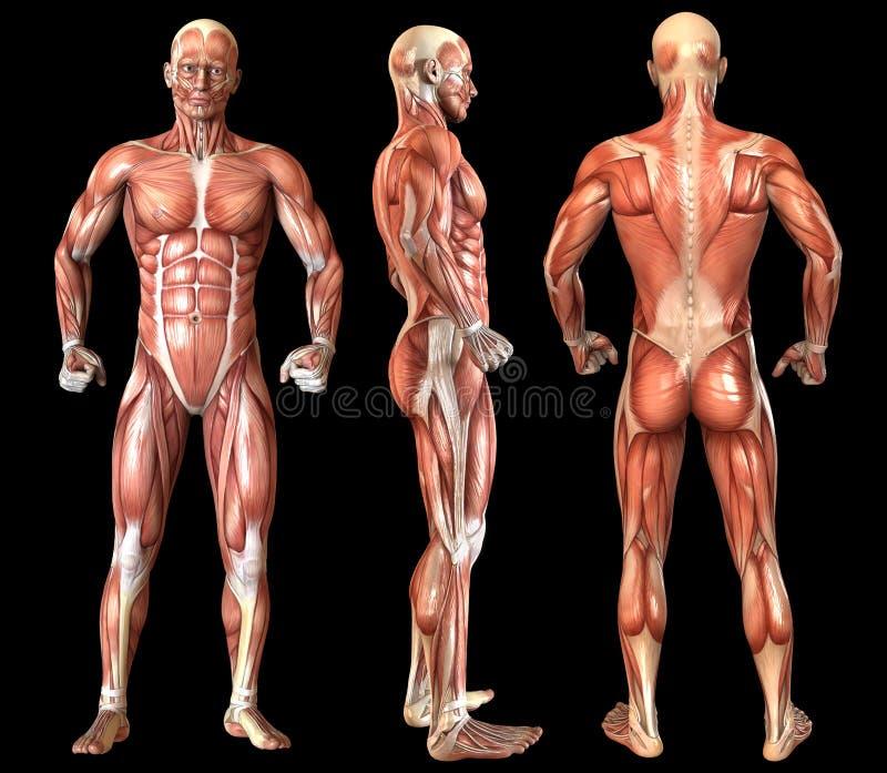 Fulla kroppmuskler för mänsklig anatomi vektor illustrationer