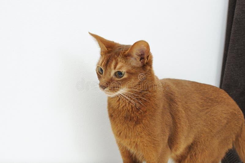 Fullblods- abyssinian katt som sitter på vit bakgrund royaltyfri bild