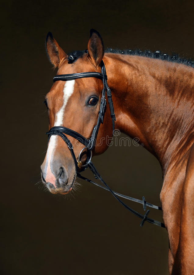 Fullblods- dressyrhäst i mörkt stall fotografering för bildbyråer