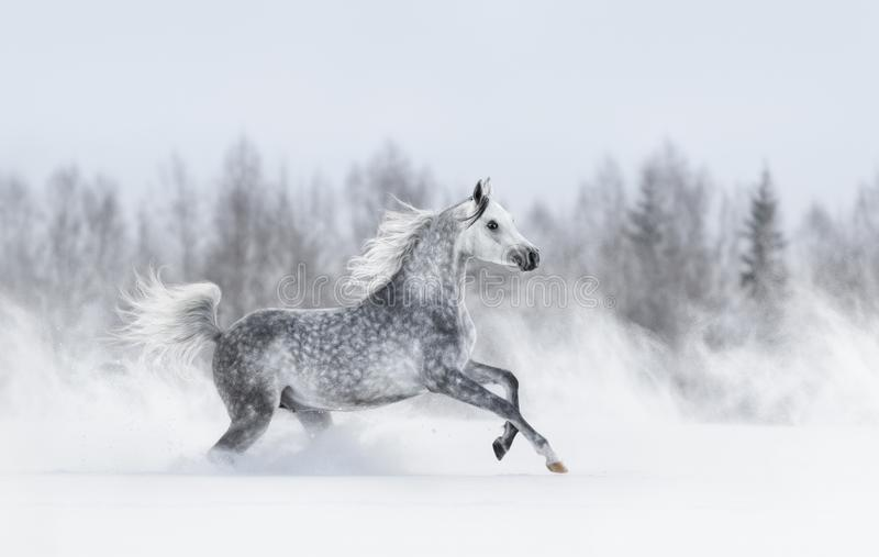 Fullblods- grå arabisk häst som galopperar under häftig snöstorm royaltyfri foto