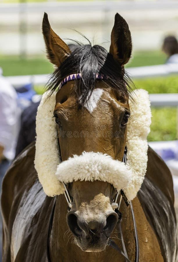 Fullblods- häst som tas till ladugården arkivfoto