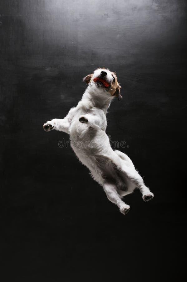 Fullblods- Jack Russell spelas med bollen i studion Hoppar upp och fångar honom fotografering för bildbyråer