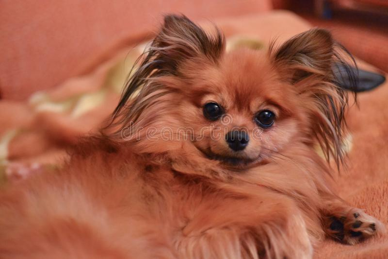 Fullblods- liten brun hundSpitz med långt hår royaltyfri bild