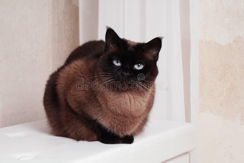 Fullblods- siamese eller thai katt royaltyfria foton