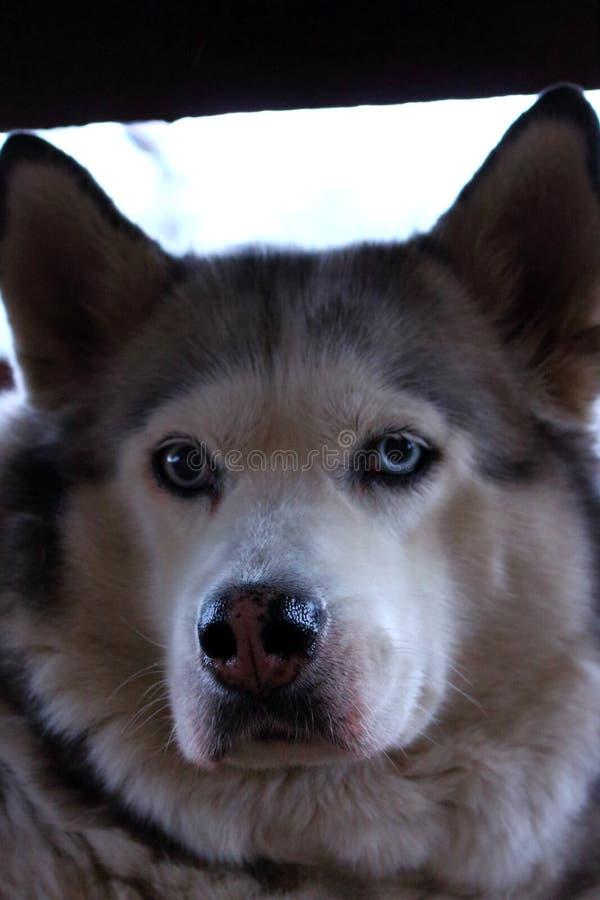 Fullblods- skrovlig hund med blåa ögon och våta näsan som ser upp kameraslut Stående för hund` s arkivfoto