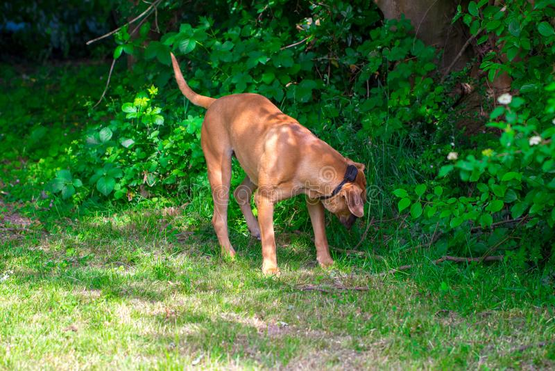 Fullblods- stora bruna söder - afrikansk massiv hundart Boerboel arkivfoton
