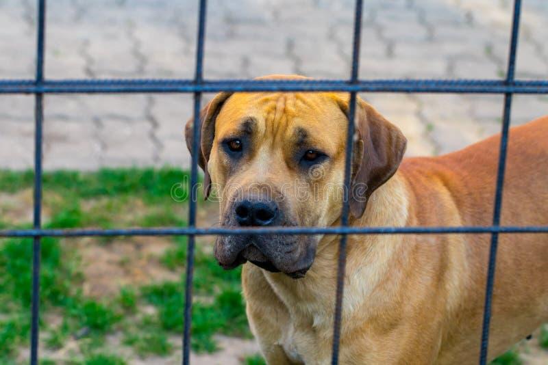 Fullblods- stora bruna söder - afrikansk massiv hundart Boerboel royaltyfri foto