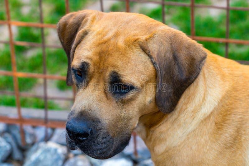 Fullblods- stora bruna söder - afrikansk massiv hundart Boerboel fotografering för bildbyråer