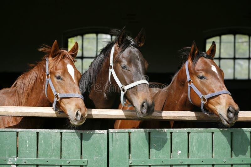 Fullblods- unga hästar som ser över träladugårddörr i stall på ranchen på solig sommardag royaltyfri bild