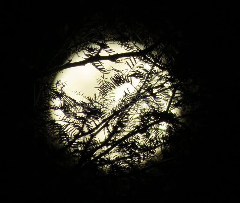 Fullmåne bak Silhouetted filialer royaltyfri bild