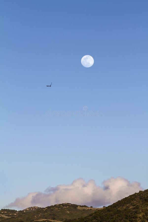 Fullmåne i den blåa himlen för skymningtid utom fara med ett moln som vilar på kullen under och konturn av en peregrine fotografering för bildbyråer