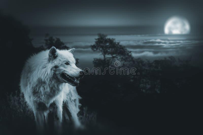 Fullmåne Wolf Hunt royaltyfria bilder
