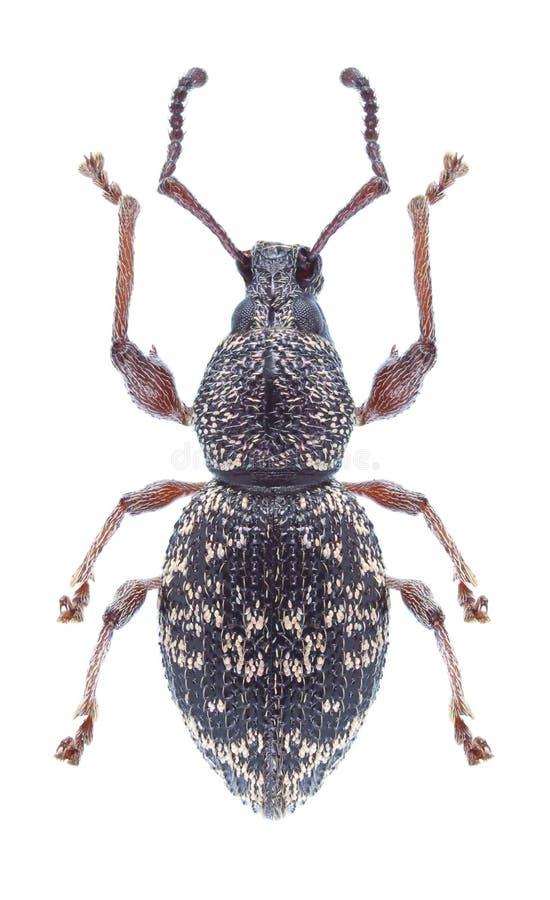 Fullo d'Otiorhynchus de scarabée photo stock