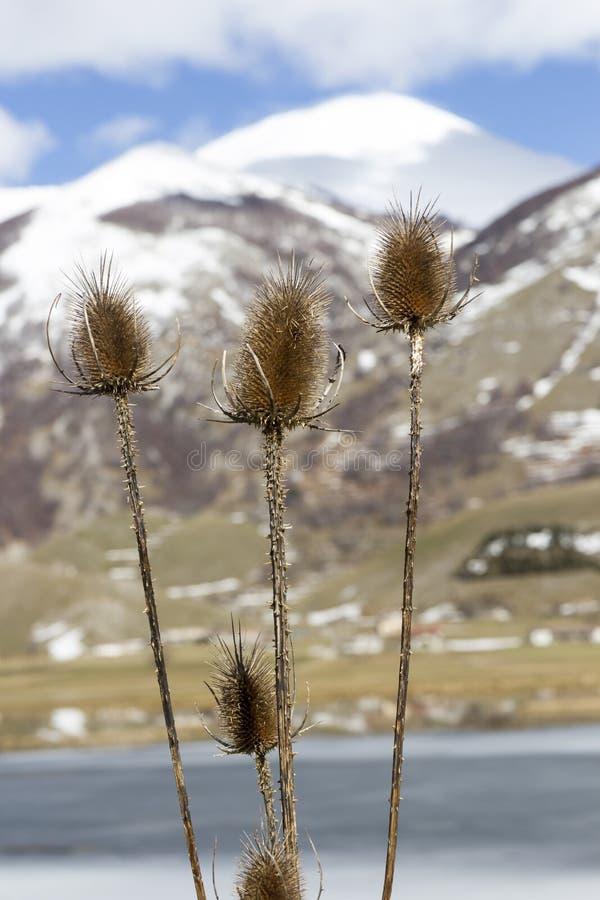 Fullonum carduus och berg arkivbild