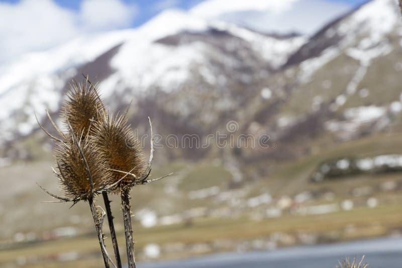 Fullonum carduus och berg royaltyfri foto