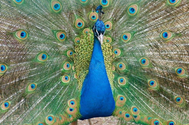 Fulls del pavo real de colores foto de archivo libre de regalías