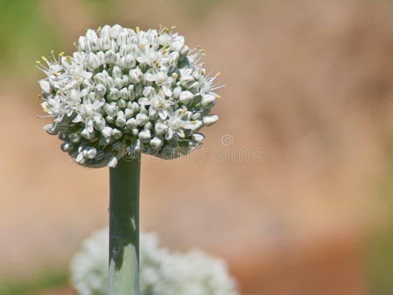 Fullständigt blommad purjolökblomma fotografering för bildbyråer