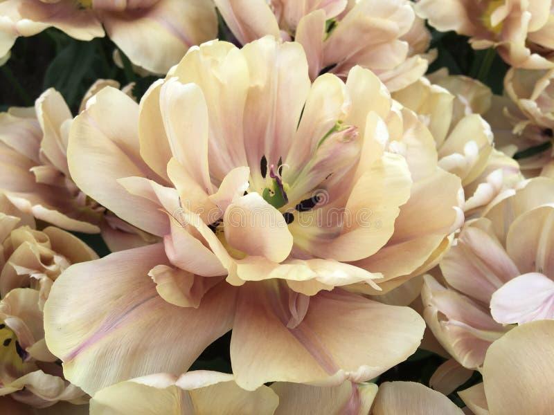 Fullständigt blommad tulpan royaltyfria foton