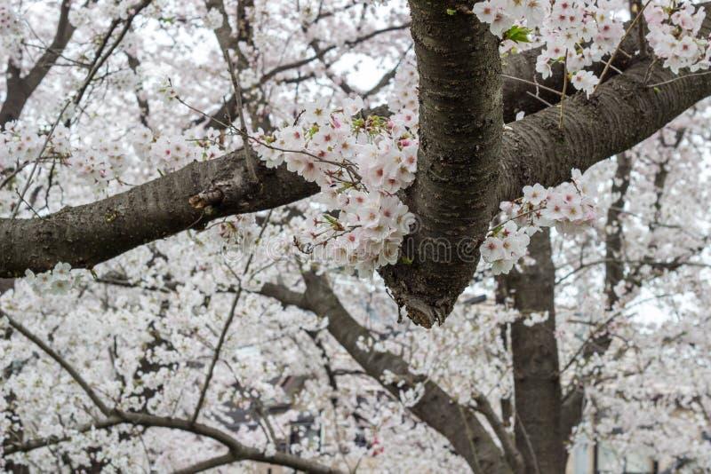 Fullständigt-blommade körsbärsröda blomningar på Kumagaya Arakawa Ryokuchi parkerar i Kumagaya, Saitama, Japan royaltyfri foto