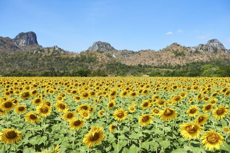 Fullständigt blomningsolrosfält i Lopburi Thailand royaltyfri fotografi