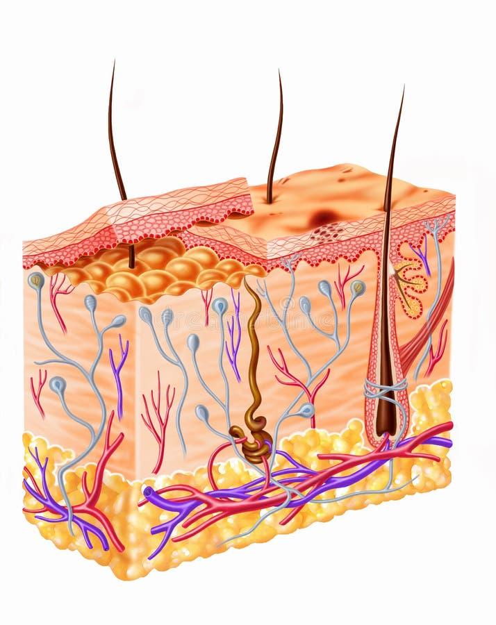 Fullt avsnittdiagram för mänsklig hud. stock illustrationer