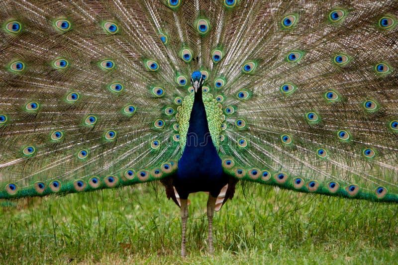 fullt påfågelband för blå färgrik fjäder arkivbilder