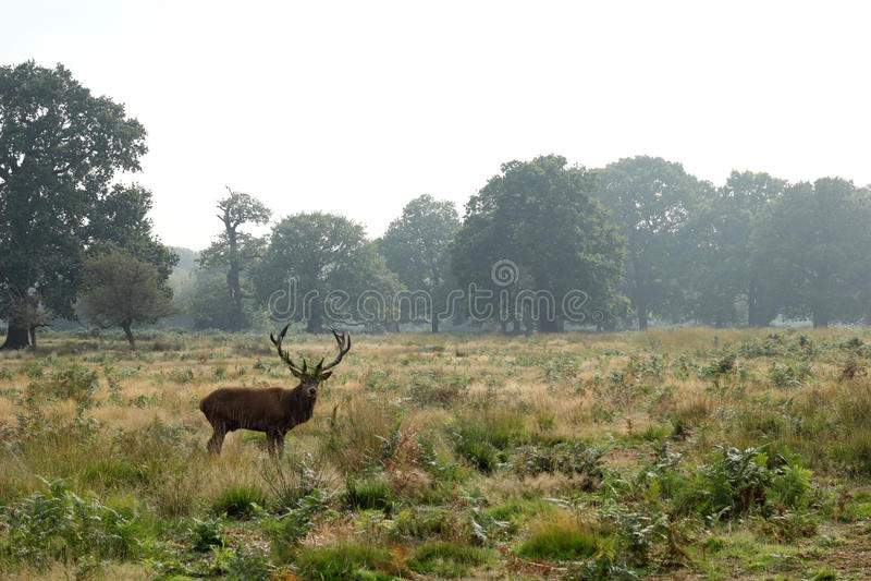 Fullvuxen hankronhjort för röda hjortar i höstlandskap royaltyfri foto