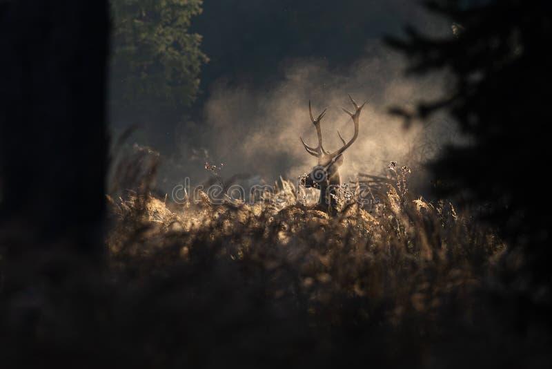 Fullvuxen hankronhjort för röda hjortar i mornighöstmist royaltyfria bilder