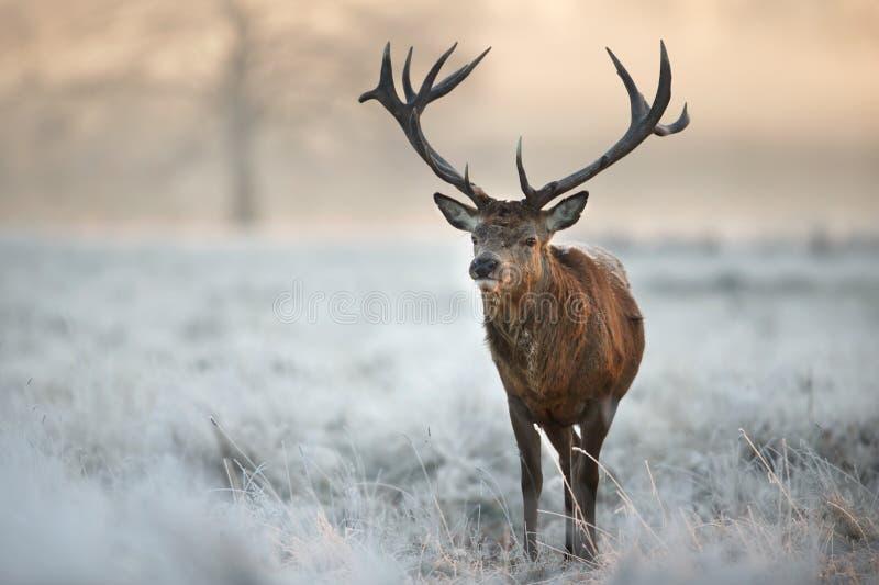 Fullvuxen hankronhjort för röda hjortar i vinter arkivbilder