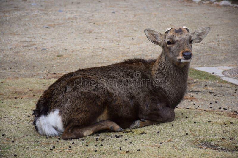 Fullvuxen hankronhjort utan horn på kronhjort som sitter i ängen royaltyfria foton