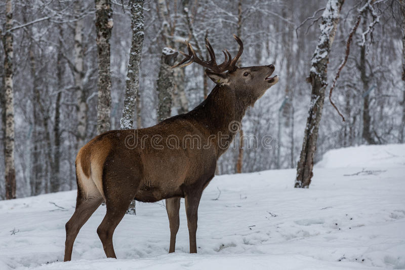 Fullvuxen hankronhjorthjortar som kallar i skog royaltyfria bilder