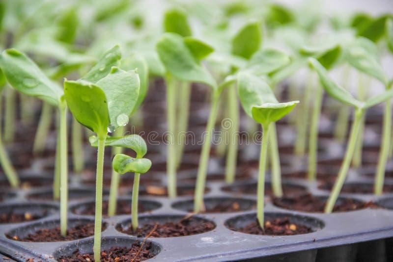 Fullvuxen trädväxt & x28; sprout& x29; royaltyfri fotografi