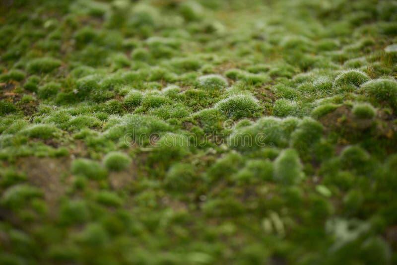 Fullvuxen upp räkning för grön mossa som busen stenar i den mest forrest showen royaltyfria bilder