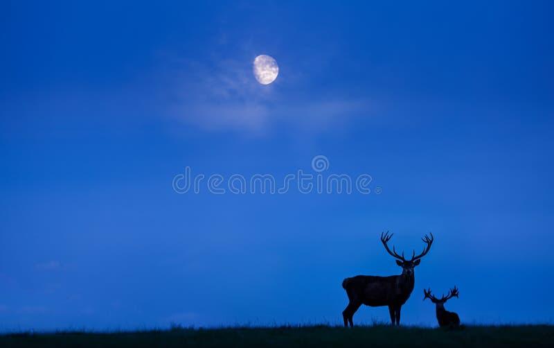 Fullvuxna hankronhjortar för röda hjortar på månsken arkivfoton