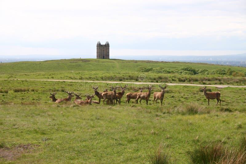 Fullvuxna hankronhjortar på Lyme parkerar, nordliga England royaltyfri fotografi
