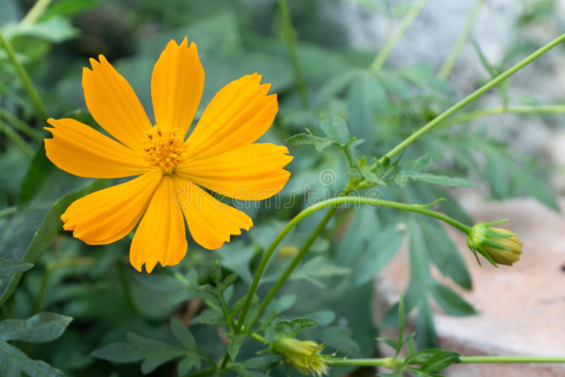 Fully bloom yellow cosmos in a garden - close up royalty free stock image