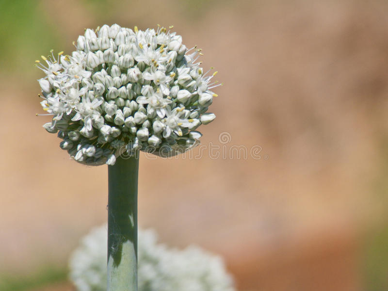 Fully Bloomed Leek Flower. Beautiful fully blooming leek flower on a hot summer day stock image