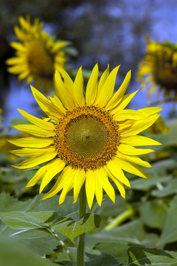 Fully blossomed Sunflower. In India stock photos
