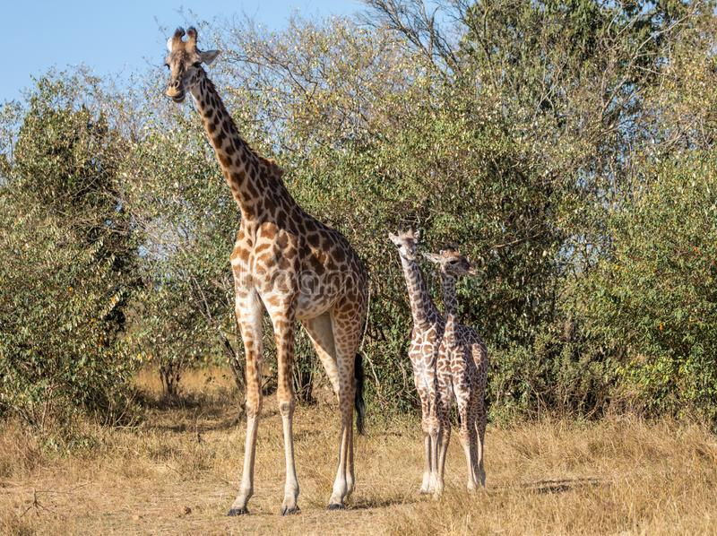 Fully body portraits of family of mother and two baby masai giraffes, Giraffa camelopardalis, standing in Kenyan landscape with dr stock photos